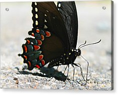 Eastern Black Swallowtail Acrylic Print by Candice Trimble