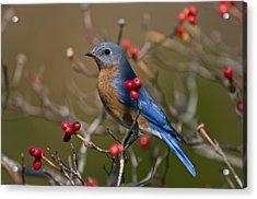 Eastern Bluebird - 2531 Acrylic Print