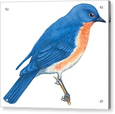 Eastern Bluebird Acrylic Print by Anonymous