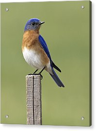 Eastern Bluebird Acrylic Print by David Lester