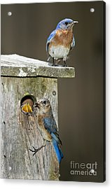 Eastern Bluebird Family Acrylic Print by Anthony Mercieca