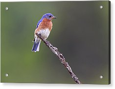 Acrylic Print featuring the photograph Eastern Bluebird by Gary Hall