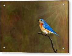 Eastern Bluebird In The Prairies Acrylic Print by Susan Candelario
