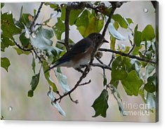 Eastern Bluebird Acrylic Print by Ruth  Housley