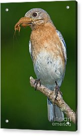 Acrylic Print featuring the photograph Eastern Bluebird With Katydid by Jerry Fornarotto