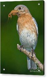Eastern Bluebird With Katydid Acrylic Print by Jerry Fornarotto