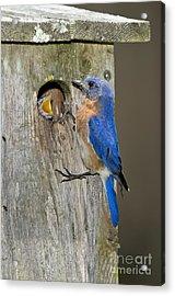 Eastern Bluebirds Acrylic Print by Anthony Mercieca