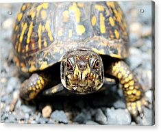 Eastern Box Turtle Acrylic Print by Candice Trimble