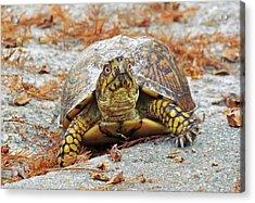 Acrylic Print featuring the photograph Eastern Box Turtle by Cynthia Guinn
