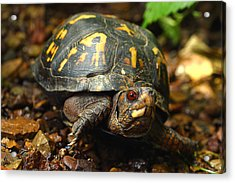 Eastern Box Turtle Acrylic Print by Michael Eingle