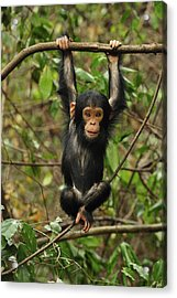 Eastern Chimpanzee Baby Hanging Acrylic Print by Thomas Marent