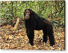 Eastern Chimpanzee Gombe Stream Np Acrylic Print by Thomas Marent