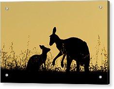 Eastern Grey Kangaroo And Joey Mount Acrylic Print
