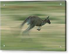 Eastern Grey Kangaroo Female Hopping Acrylic Print by Ingo Arndt