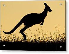 Eastern Grey Kangaroo Hopping At Sunset Acrylic Print