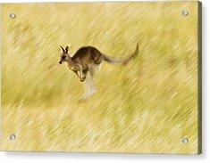 Eastern Grey Kangaroo Hopping Acrylic Print