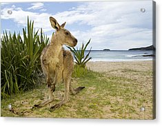 Eastern Grey Kangaroo Pebbly Beach Acrylic Print by Sebastian Kennerknecht