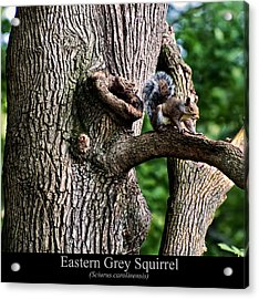 Eastern Grey Squirrel Acrylic Print
