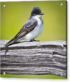 Eastern Kingbird Acrylic Print by Ricky L Jones