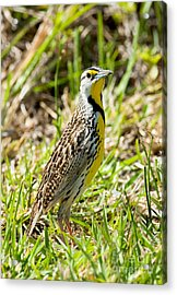 Eastern Meadowlark Acrylic Print by Anthony Mercieca