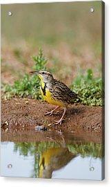 Eastern Meadowlark (sturnella Magna Acrylic Print