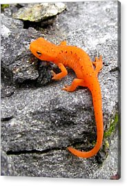 Orange Julius The Eastern Newt Acrylic Print
