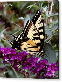 Eastern Tiger Butterfly Acrylic Print by James C Thomas