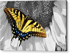 Eastern Tiger Swallow Tail  Acrylic Print
