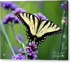 Eastern Tiger Swallowtail Butterfly 2014 Acrylic Print