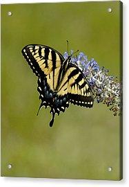Eastern Tiger Swallowtail On Butterfly Bush Acrylic Print by Lara Ellis