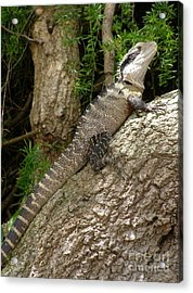Eastern Water Dragon Acrylic Print by Bev Conover