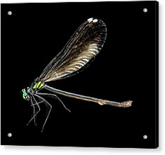 Ebony Jewelwing Damselfly Acrylic Print by Us Geological Survey