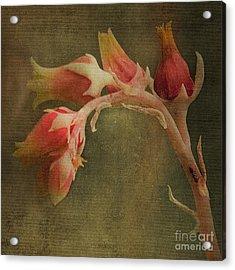 Echervia Blossom Acrylic Print by Pam Vick