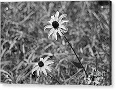 Echinacea Acrylic Print by Barbara Bardzik