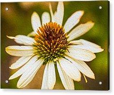 Echinacea Fading Beauty Acrylic Print by Omaste Witkowski