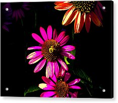 Echinacea In Hot Pink Acrylic Print by Karla Ricker