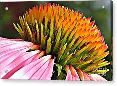 Echinacea In  Watercolors  Acrylic Print by Chris Berry