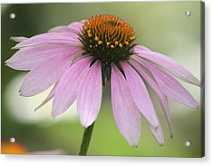 Echinacea Pink Coneflower Acrylic Print by Penny Hunt