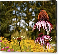 Acrylic Print featuring the photograph Echinacea With Bee by Linda Bianic
