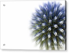 Echinops  Acrylic Print by Anne Gilbert
