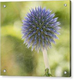 Echinops Blue Acrylic Print
