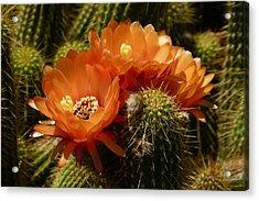 Echinopsis Huascha Cactus Trio Acrylic Print