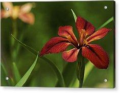 Acrylic Print featuring the photograph Echo - Copper Iris Art Print by Jane Eleanor Nicholas