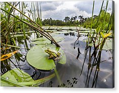 Edible Frog On Lily Pad Overijssel Acrylic Print