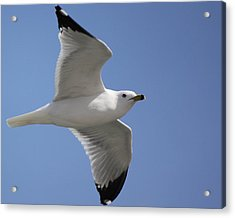 Acrylic Print featuring the photograph Effortless Flight by Bill Woodstock