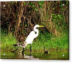 Egret And Ducks Acrylic Print by Will Boutin Photos