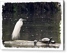 Egret And Turtles Acrylic Print