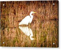 Egret Basking In The Morning Sun Acrylic Print