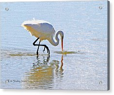Egret Catches A Fish Acrylic Print by Tom Janca