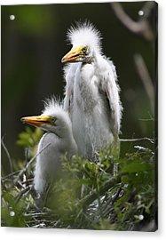 Egret Chicks 11x14 Acrylic Print by David Lynch